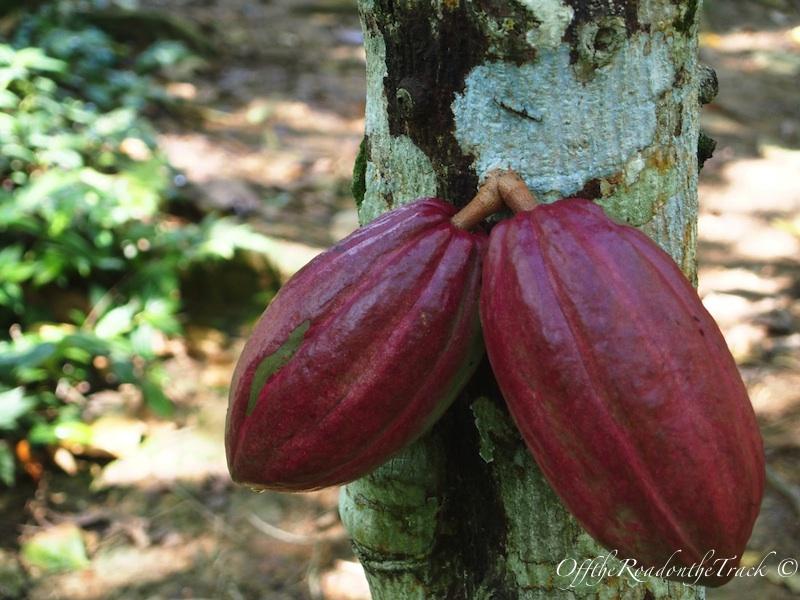 Kakao'nun ağacın gövdesinden çıktığını bilmezdim