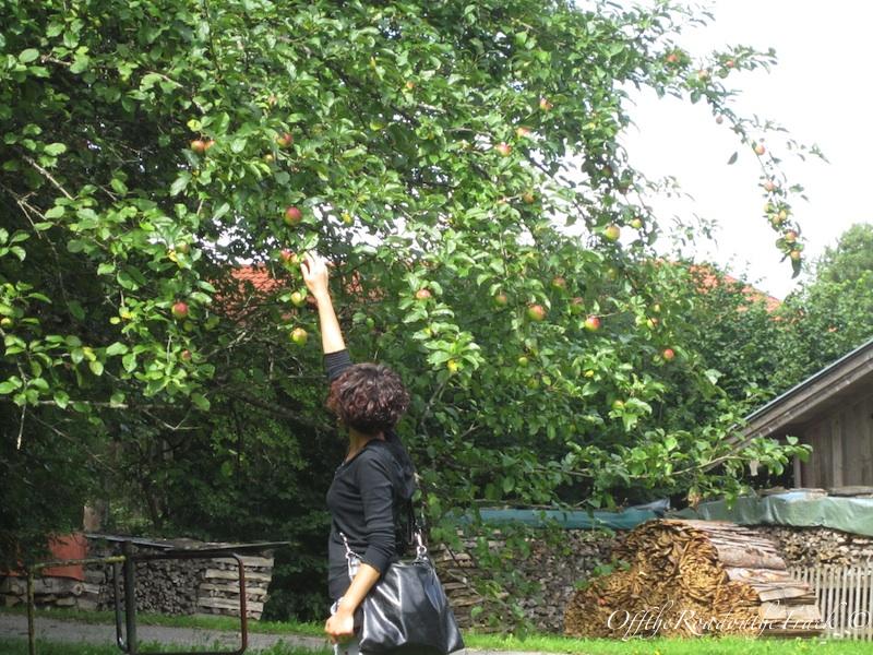 Ağaçlardan elmaları topladık...