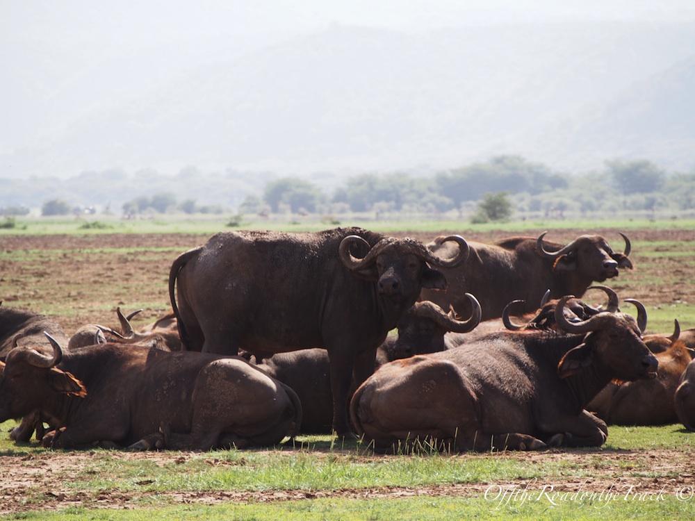 Tanzanya'da SAFARİ - Manyara Gölü