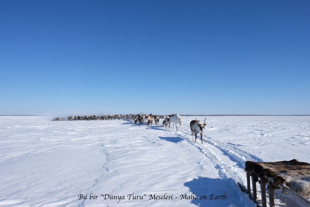 Arctic_Siberia_Ren_Geyikleri-imp
