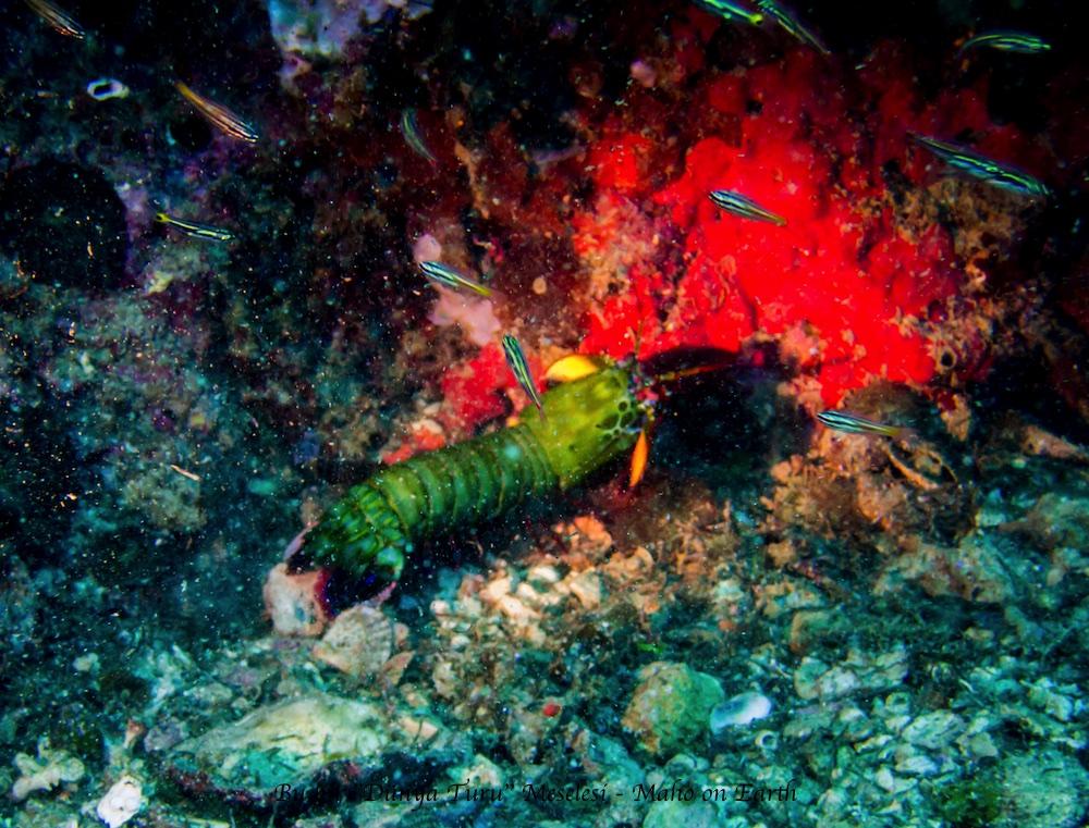 Malapascua_Thresher_Gato_Kalanggaman_Diving-29-imp