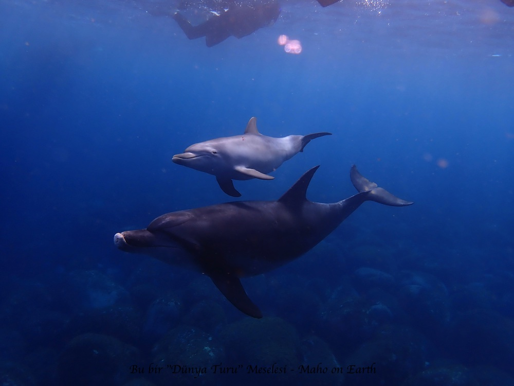 Mikura_Island_Wild_Dolphins-imp
