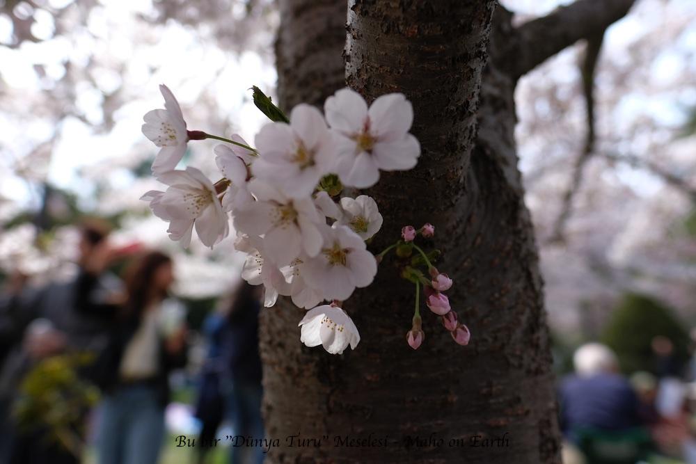 Sapporo_Sakura-imp